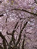 5 Black Cherry Tree Seeds/ Free Shipping