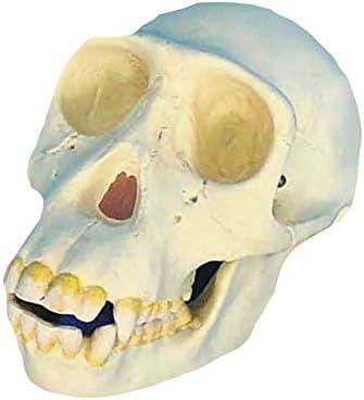 チンパンジーの頭蓋骨人間の頭蓋骨医学1:1レプリカディスプレイ教育医療モデルを研究するための