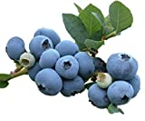 "Blue Crop Blueberry Plant - Large/Delicious/Midseason - 2 .5"" Pot"