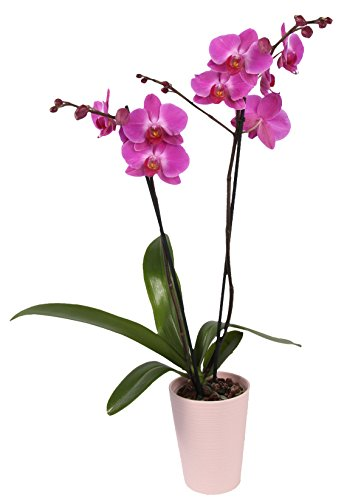 Color Orchids Live Blooming Orchid Plant in Ceramic Pot, 20''-24'', Purple by Color Orchids