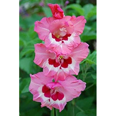 (10) Wine & Roses Pink & Red Flowering Gladiolus Large Bulbs by achmadlee: Garden & Outdoor