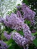"Purple LILAC ""Syringa Vulgaris""  20-Perennial Seeds"