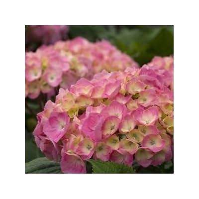 Hydrangea-Lets-Dance-Big-Easy - QT Pot (Shrub) : Garden & Outdoor