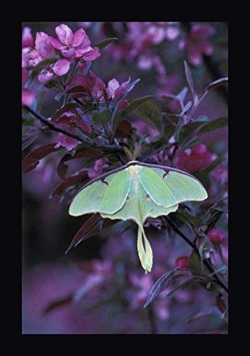 USA, Pennsylvania Luna Moth on crabapple Tree by Nancy Rotenberg - 12