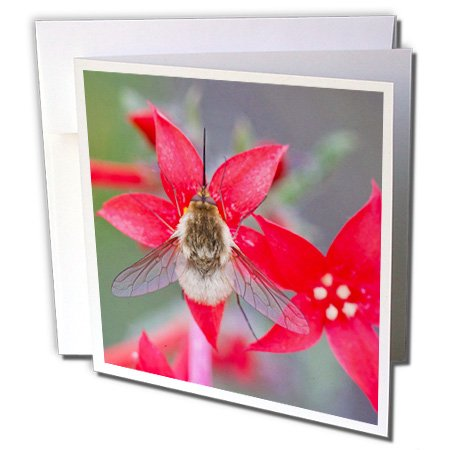Price comparison product image Danita Delimont - Wildflower - Wyoming, Bee Fly with proboscis showing on Scarlet Gilia flowers. - Greeting Cards-6 Greeting Cards with envelopes (gc_231873_1)