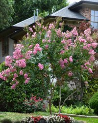 4 Pack - Semi Dwarf Hopi Crape Myrtle Trees - Pink Flowering - Grown in Quart Containers