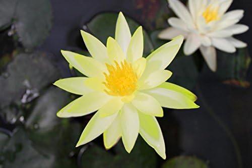 Wasserpflanzen Wolff - Nymphaea 'Colonel A. J. Welch' im Pflanzkorb - Seerose, gelb