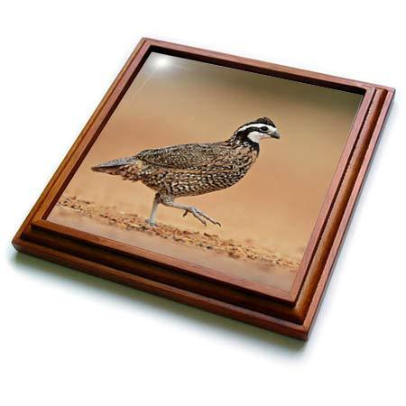 3dRose Danita Delimont - Birds - Northern Bobwhite male running, Rio Grande Valley, South Texas USA - 8x8 Trivet with 6x6 ceramic tile (trv_315049_1)