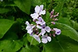 Home Comforts Peel-n-Stick Poster of Lunaria Rediviva Perennial Lunaria Flower Vivid Imagery Poster 24 x 16 Adhesive Sticker Poster Print