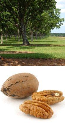 Pawnee Pecan Tree - Pec Pecan