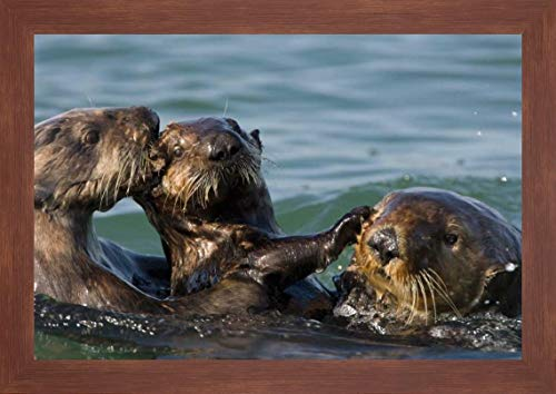 Sea Otter Bachelor Male Chasing Mother with Three to six Month Old pup, Monterey Bay, California by Suzi Eszterhas - 12