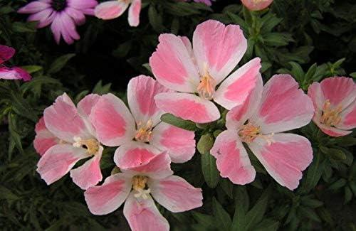 50Pcs Godetia Semillas - Semillas de flores Semillas Semillas (Gu-Dai-Xi): No. 8