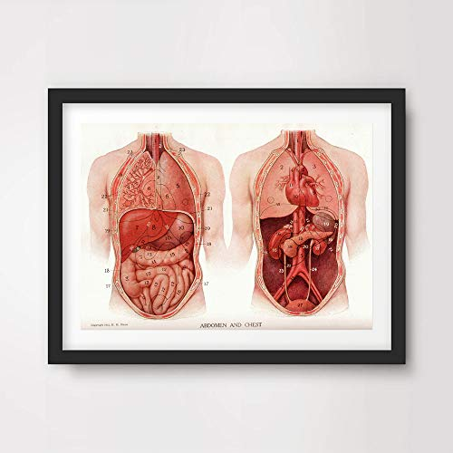 ORGANS HEART LUNGS STOMACH MEDICAL ART PRINT ANATOMICAL ANATOMY MEDICINE HUMAN BODY BIOLOGICAL CHART DIAGRAM ILLUSTRATION VINTAGE ANTIQUE Poster Home Decor Wall Picture A4 A3 A2 (10 Size Options)