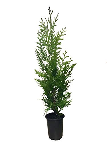 Thuja Arborvitae Green Giant - 12 Live Quart Size Plants - Evergreen Privacy Trees