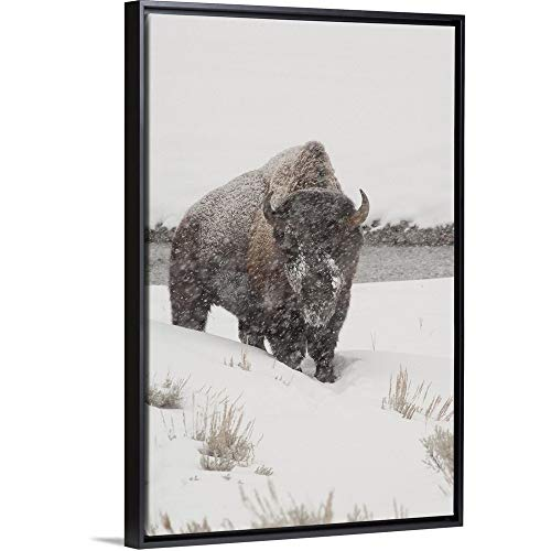 Cindy Miller Hopkins Floating Frame Premium Canvas with Black Frame Wall Art Print Entitled American Bison in Snow Storm, Yellowstone National Park, Wyoming 16