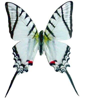 Zebra Swallowtail Butterfly - 1