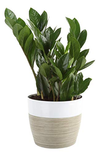 Costa Farms ZZ Zamioculcas zamiifolia, Indoor Plant in in Décor Planter, 12 to 14-Inches Tall, White-Natural