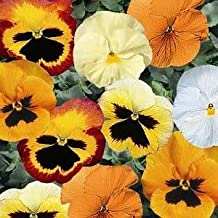 """Rare Pumpkin Pie Pansy Mix 25 Seeds """"Great fall color"""""""