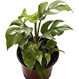 "AMERICAN PLANT EXCHANGE Rhaphidophora Tetrasperma AKA Mini Monstera/Ginny Live Plant, 6"" Pot, Easy Care Indoor Air Purifier"