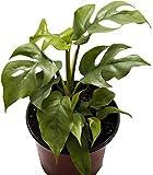 AMERICAN PLANT EXCHANGE Rhaphidophora Tetrasperma