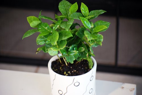 9GreenBox - Arabica Coffee Plant Bonsai with Fertilizer by 9GreenBox.com (Image #1)'