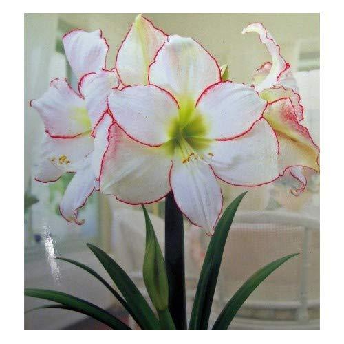 Picotee Amaryllis Bulb - Single Blooming Amaryllis, Easy to Grow Bulbs (Amaryllis Bulk Bulbs)