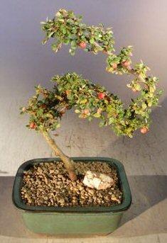 Trunk Flowering (Bonsai Boy's Flowering & Fruiting Evergreen Cotoneaster Bonsai Tree Curved Trunk Style dammeri 'streibs findling')
