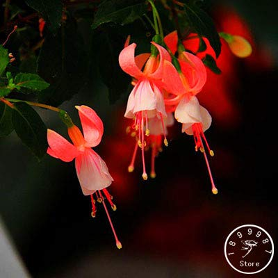 New Arrival!Heart-Shaped Peach Fuchsia Flower Seeds Potted Flower Garden Plants Hanging Fuchsia Flowers 50 pcs/Pack, qk3l8i