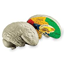 Learning Resources Cross-section Brain Model, 2 Piece, Foam Brain, Color Coded, Ages 7+