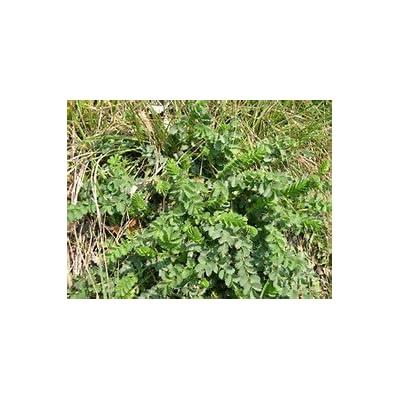 Salad Burnet Great Garden Herb by Seed Kingdom Bulk 3, 000 Seeds : Garden & Outdoor