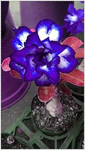 Amazon.com: Shopvise 2 piezas / bolsa azul desierto rosa ...