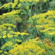Herb Seeds - Dill Dukat - 8000 Seeds