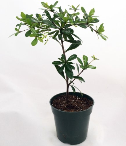 Shady lady black olive pre bonsai tree great indoors 4 for Growing olive trees indoors