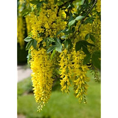 Cheap Fresh Tree Seeds Laburnum Anagyroides Golden Chain Get 5 Seeds Easy Grow #GRG01YN : Garden & Outdoor
