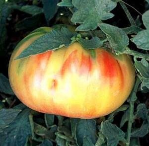 Old German Tomato 25 Seeds - Mennonite HEIRLOOM ()