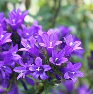 SD1500-0261 Campanula / Tufted Campanula Flower Seeds, Rare Blue Color Petals, Non-Genetically Modified Seeds (Approx. 500 Seeds) ()