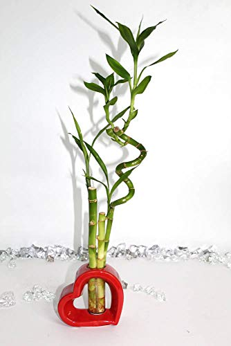 Athena's Garden BA-P542-SS8-SS10-CS16 Flower Gift Red Novelty Valentine Container with Contemporary Bamboo Arrangement,