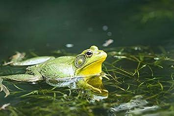 "Poster 24/"" x 16/"" Frog Macro"