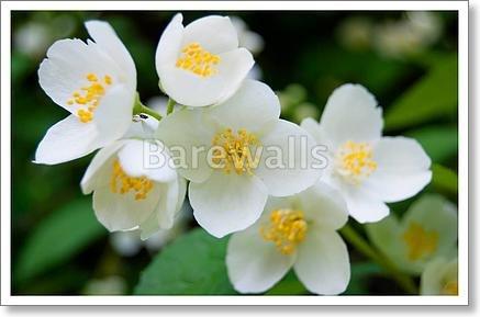 Jasmine Flower And Green Leaves Paper Print Wall Art (16in. x 24in.) Barewalls Leaf