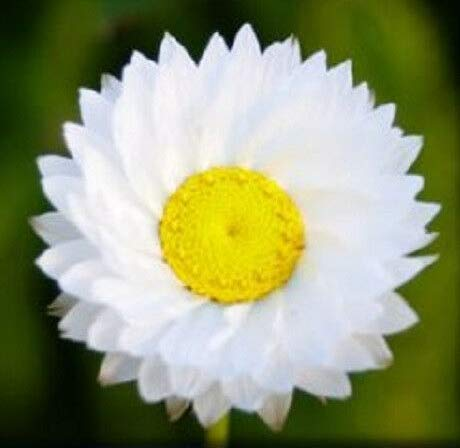 Seeds White Winged Everlasting Paper Daisy Flower Get 250 Seeds ()