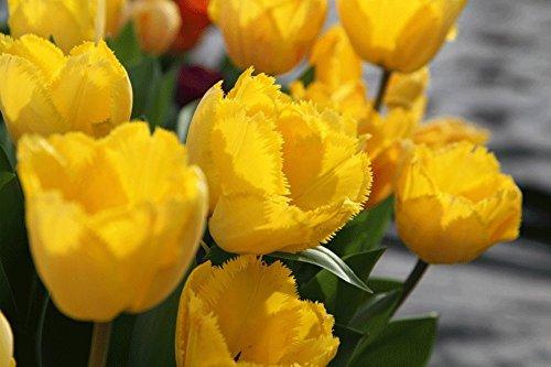 SILKSART Crystal Star Fringed Tulip 8 Bulbs - Brilliant Yellow - NEW - 12/+ cm ()