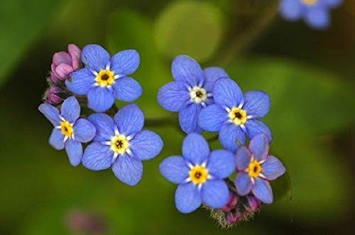 Live Pond Plant Water Forget me not 1 Pcs an