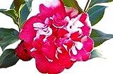 Governor Mouton Camellia Japonica - Live Plant - Quart Pot