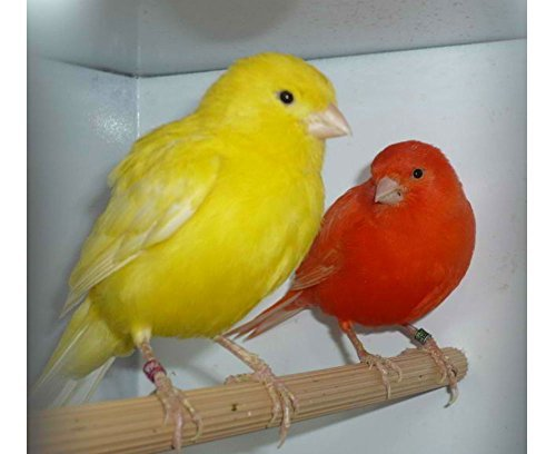 NEW SUPER BIRD MELODY SONG CANARY TRAINING CD MY BEST BIRD by Unknown