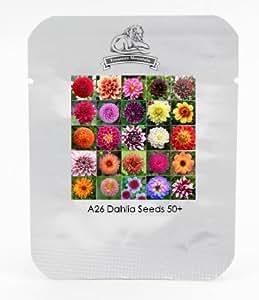 Hardy resistente al calor diferentes semillas Perenne flor de la dalia, Paquete Profesional, 50 semillas / Paquete, Luz fragante jardín de bonsáis