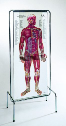 Amazon The Thin Man Sequential Human Anatomy Figure Industrial
