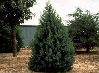50 Arizona Cypress Tree Seeds, Cupressus Arizonica