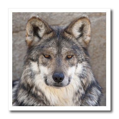 (3dRose ht_83695_3 Portrait of an Adult Wolf NA02 BTH0000 Brenda Tharp Iron on Heat Transfer, 10 by)