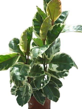 Piante Da Appartamento Ficus.Olive Grove Pianta Da Interno Per Ufficio O Appartamento Ficus