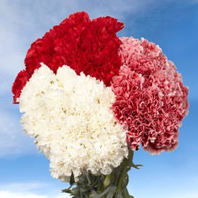 GlobalRose 200 Fresh Cut Christmas Carnations - Fresh Flowers Wholesale Express Delivery - Perfect for Christmas Holidays. by GlobalRose (Image #2)